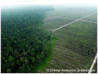 Urwald und Palmölplantage